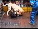 собачьи бои бульдог против питбуля